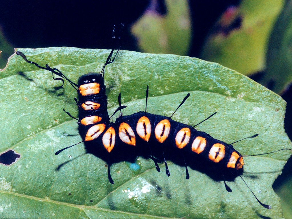 http://www.richard-seaman.com/Wallpaper/Nature/Caterpillars/PaddleCaterpillarFromAbove.jpg