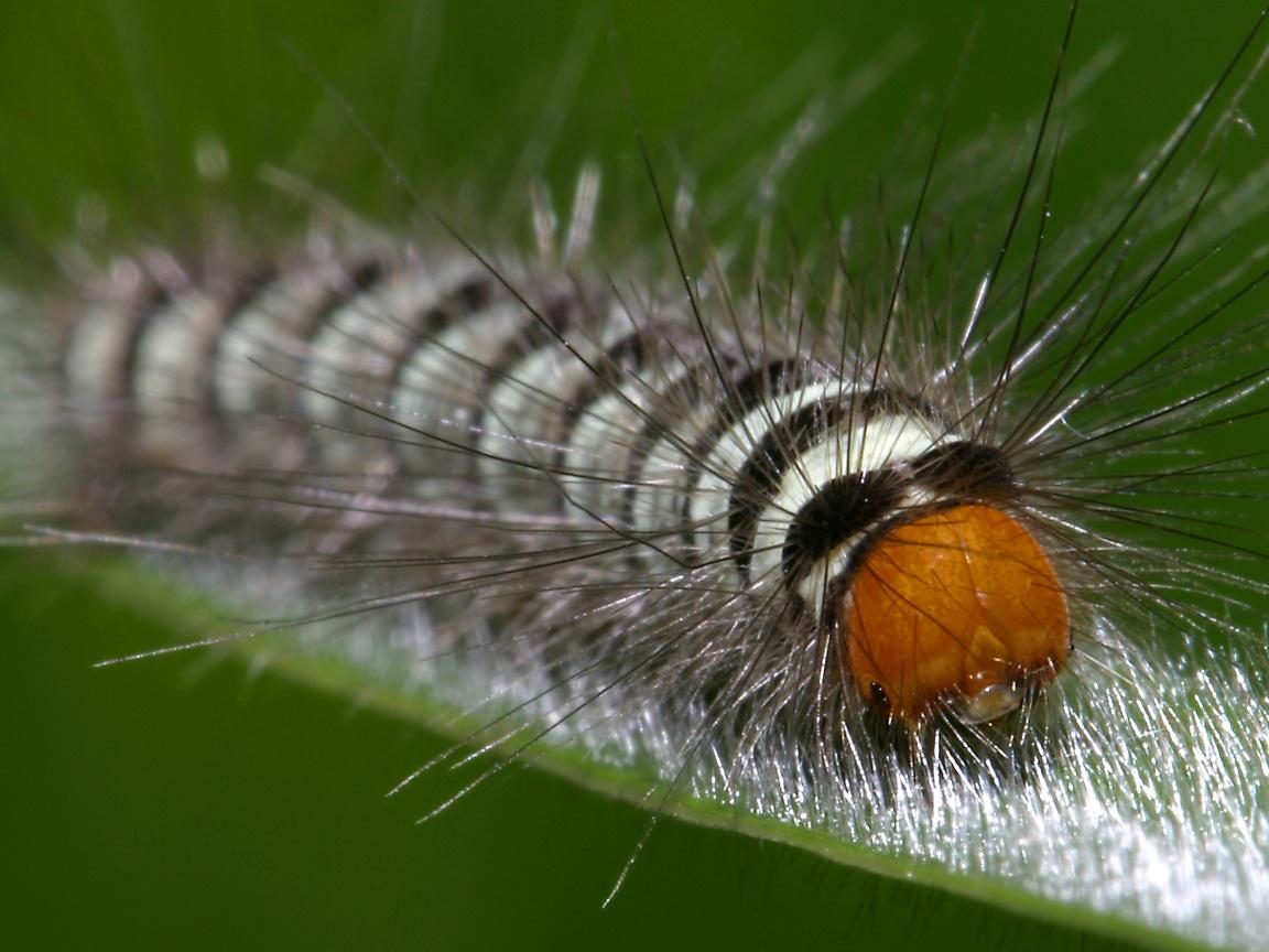 http://www.richard-seaman.com/Wallpaper/Nature/Caterpillars/VietnameseCaterpillarOnHairyLeaf.jpg