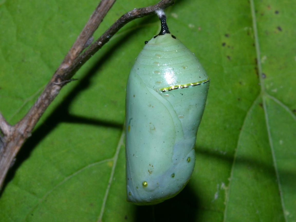http://www.richard-seaman.com/Wallpaper/Nature/Caterpillars/VoloBogMonarchChrysalis.jpg