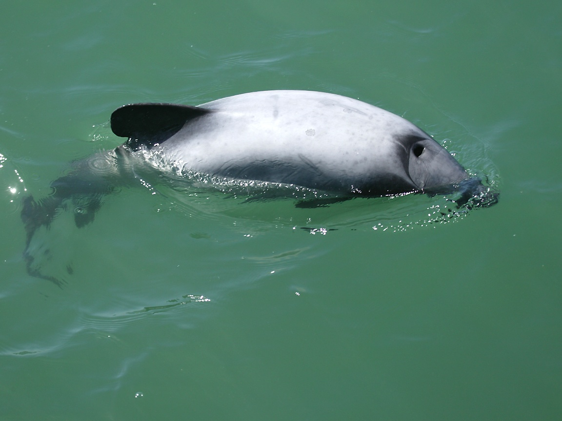 http://www.richard-seaman.com/Wallpaper/Nature/Mammals/HectorsDolphin.jpg
