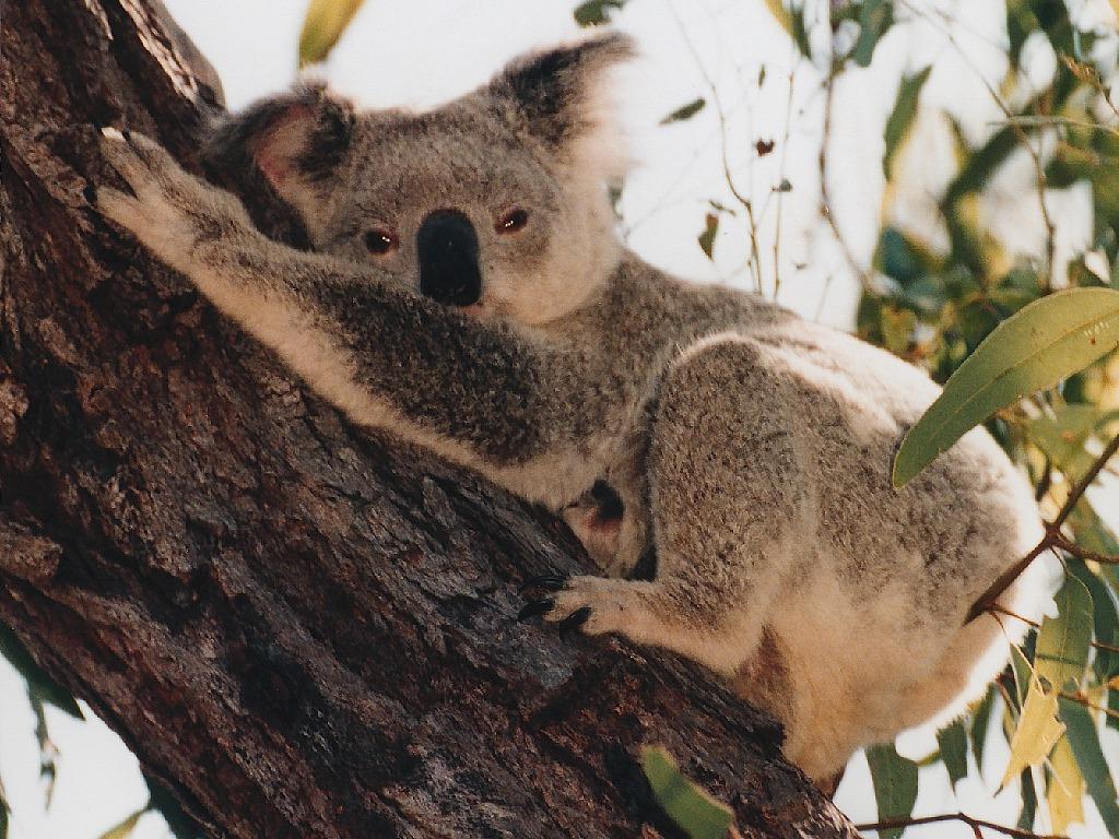 Best Koala Pictures