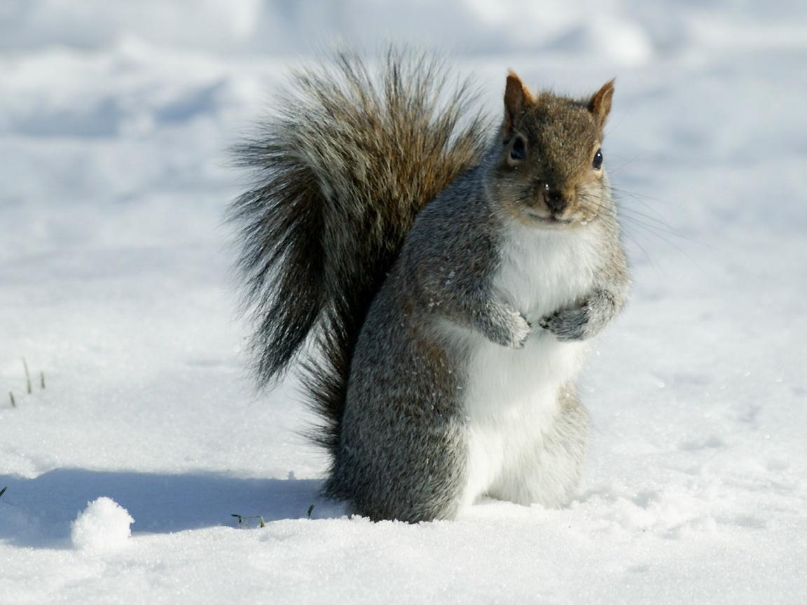 gray squirrel wallpaper - photo #32