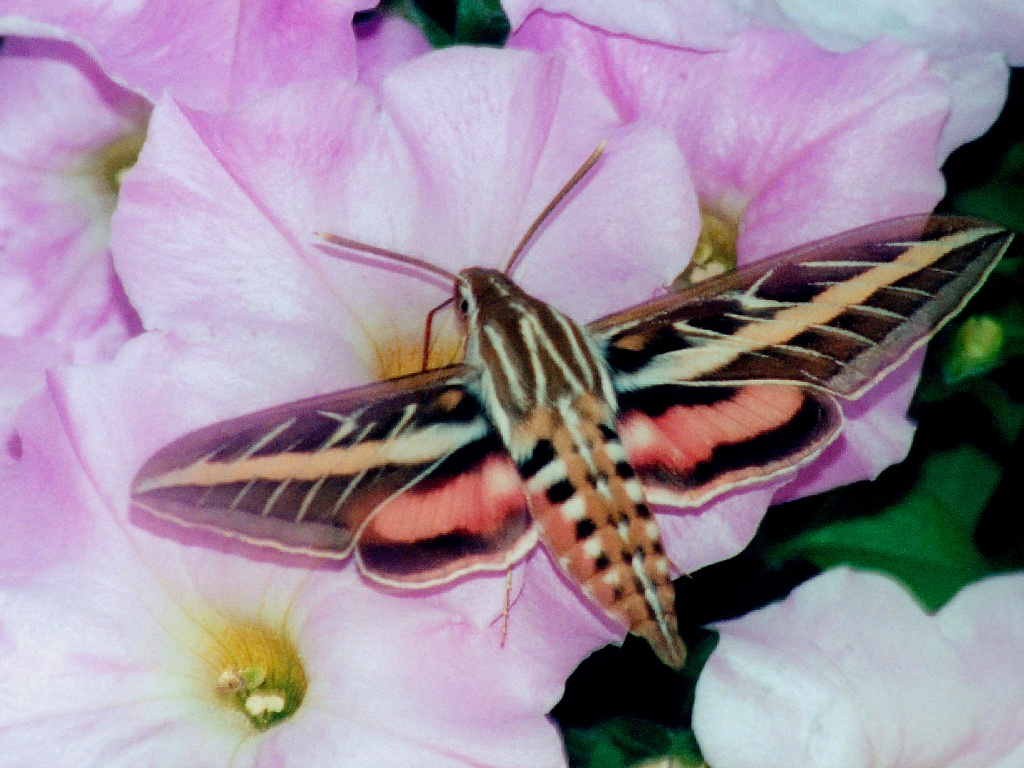 White lined sphinx moth - photo#10