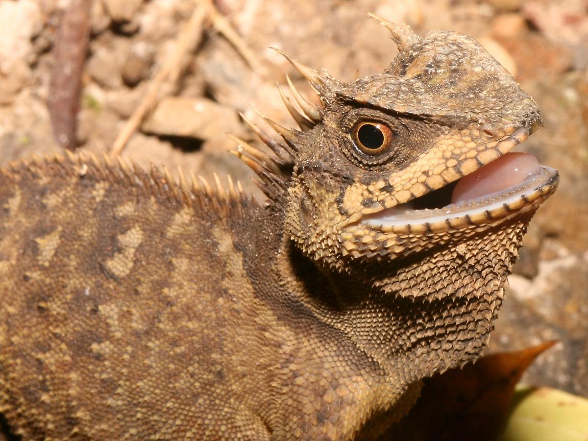 lizard wallpaper