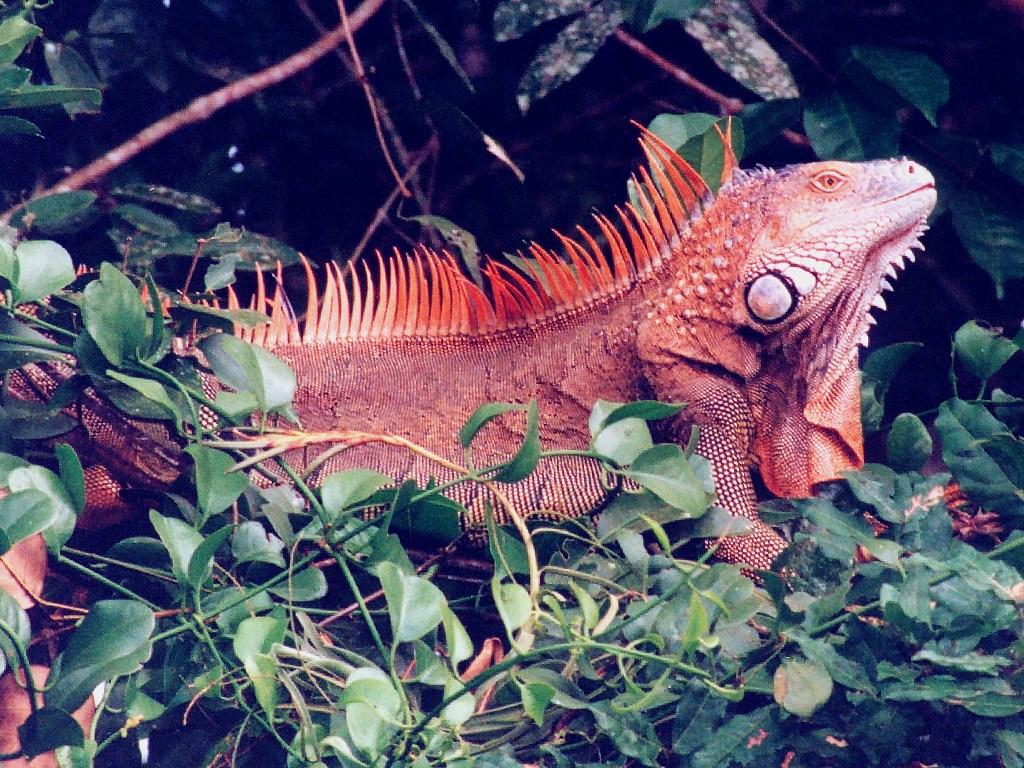 Red+iguana+information
