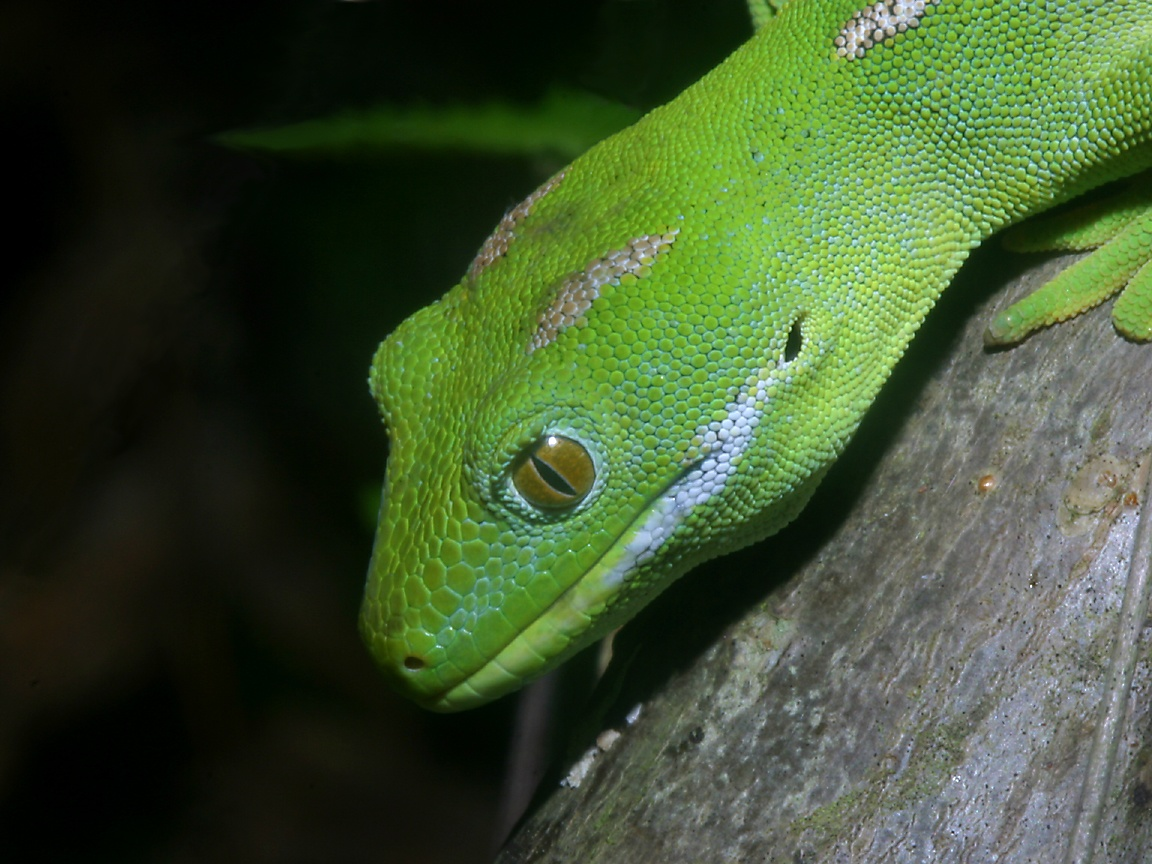 lizard photo galleries