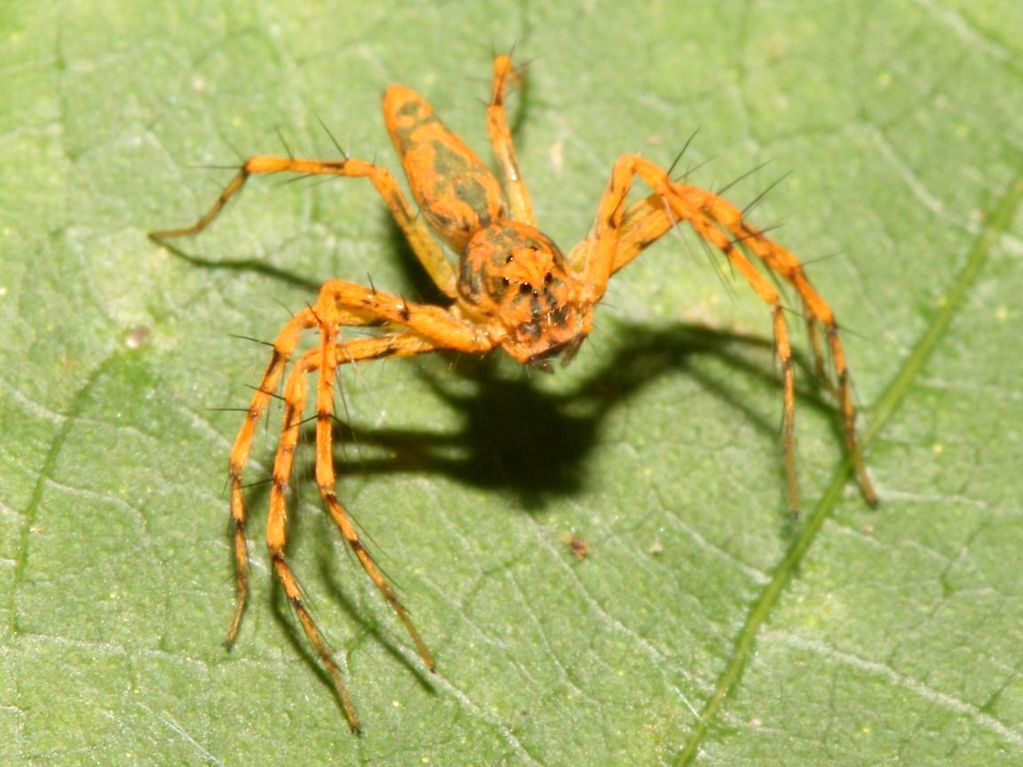 spider solität