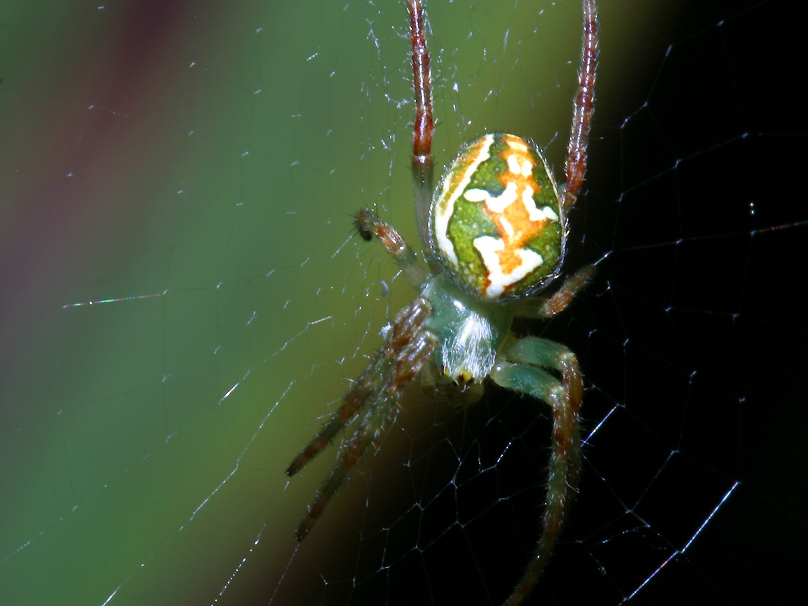 Паук с зеленым телом
