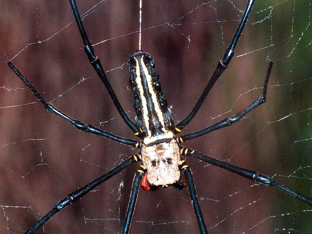 Giant spiders. The biggest spider in the world 96