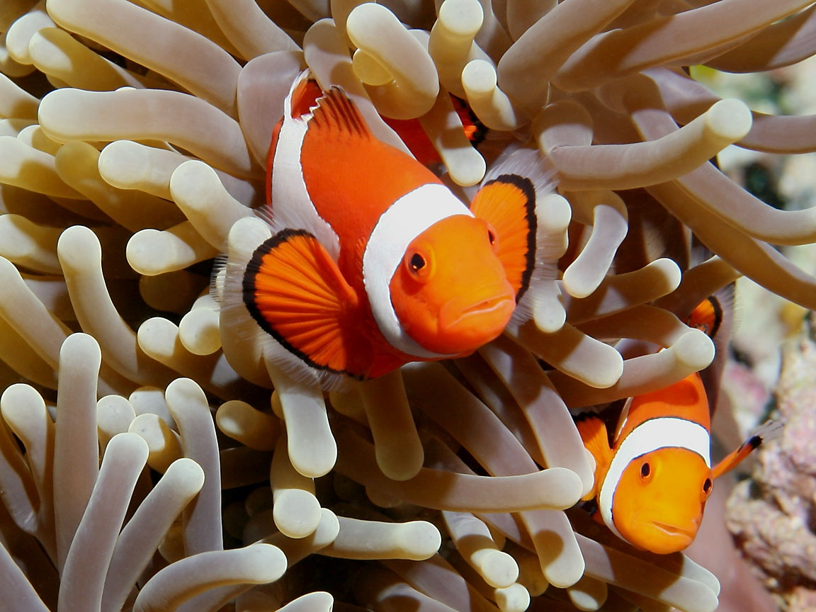 Amphiprion ocellaris photographed in march of 2006 using a canon 5d