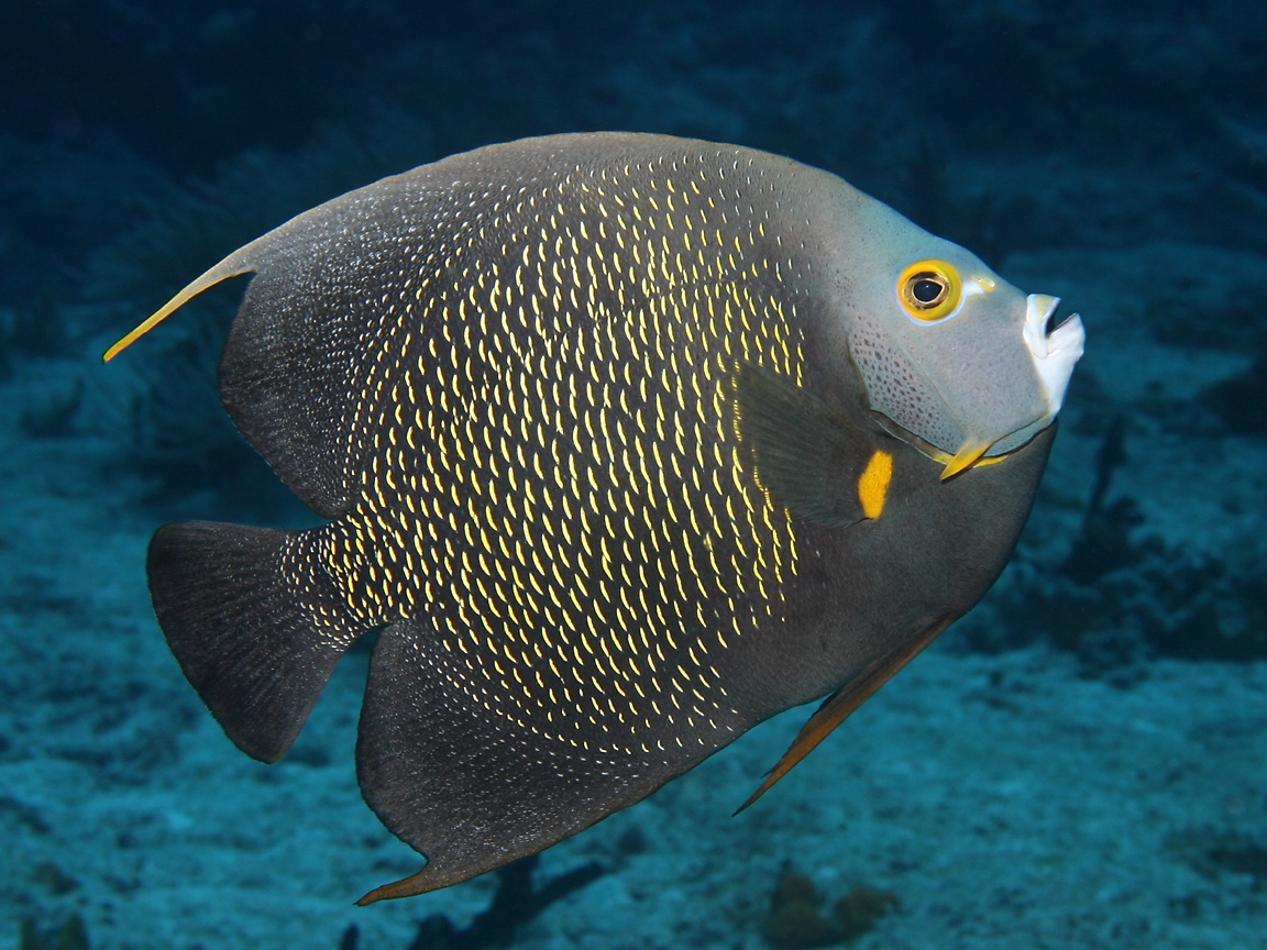 angelfish cozumel mexico rock beauty cozumel mexico french angelfish ...
