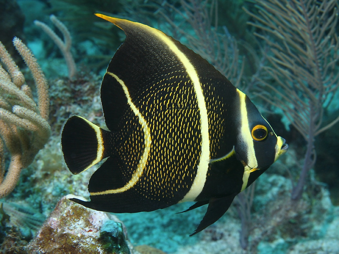 Angelfish wallpaper for What do fish see
