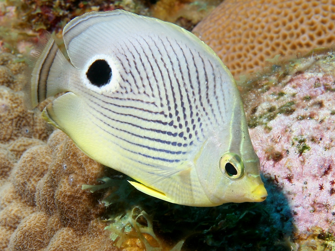Butterflyfish wallpaper for One eyed fish