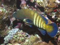 Cephalopholis argus photographed at Dahab in January of 2004 using a Canon G2 camera and Ikelite housing  (focal length = 7mm, 1/200th second, f8, ISO 100)
