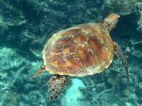 Chelonia mydas photographed on the Great Barrier Reef in January of 2003 using a Canon G2 camera in an Ikelite housing