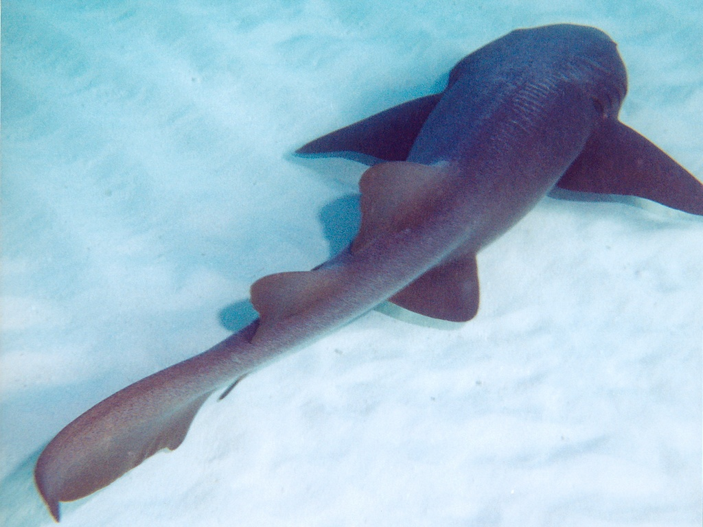 Nurse Shark picture 8