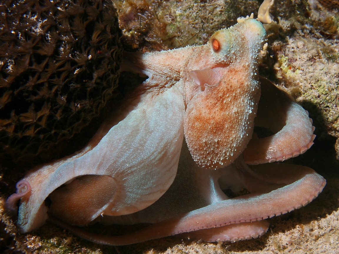 Octopus briareus photographed in April of 2009 using a Canon 5D camera ...