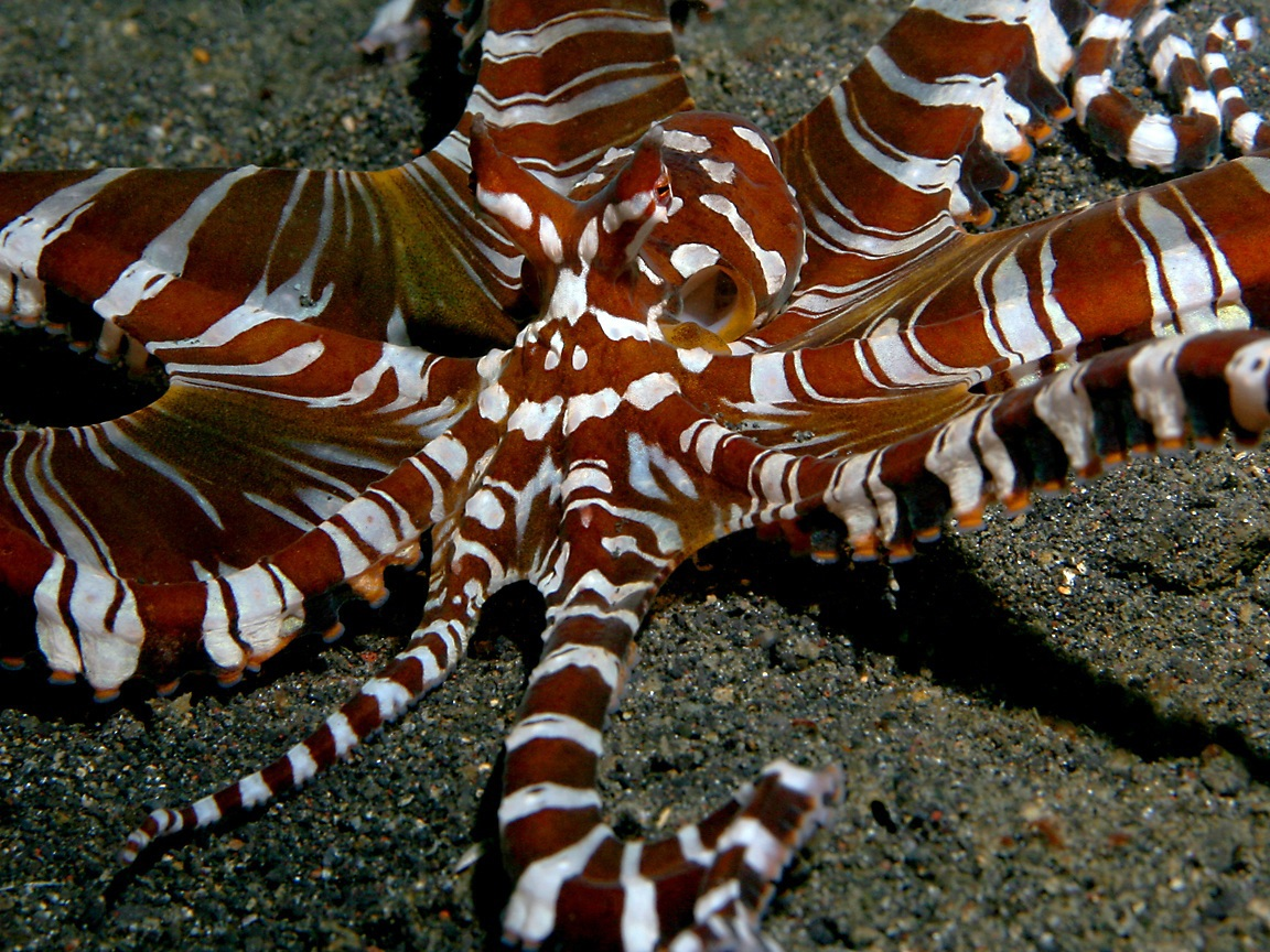 Wunderpus photogenicus photographed in May of 2008 using a Canon 5D ...