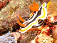 Chromodoris magnifica photographed in March of 2006 using a Canon 5D camera and Sigma 50mm macro lens in an Ikelite housing with an Ikelite DS-50 strobe (1/180th second, f22, ISO 400)