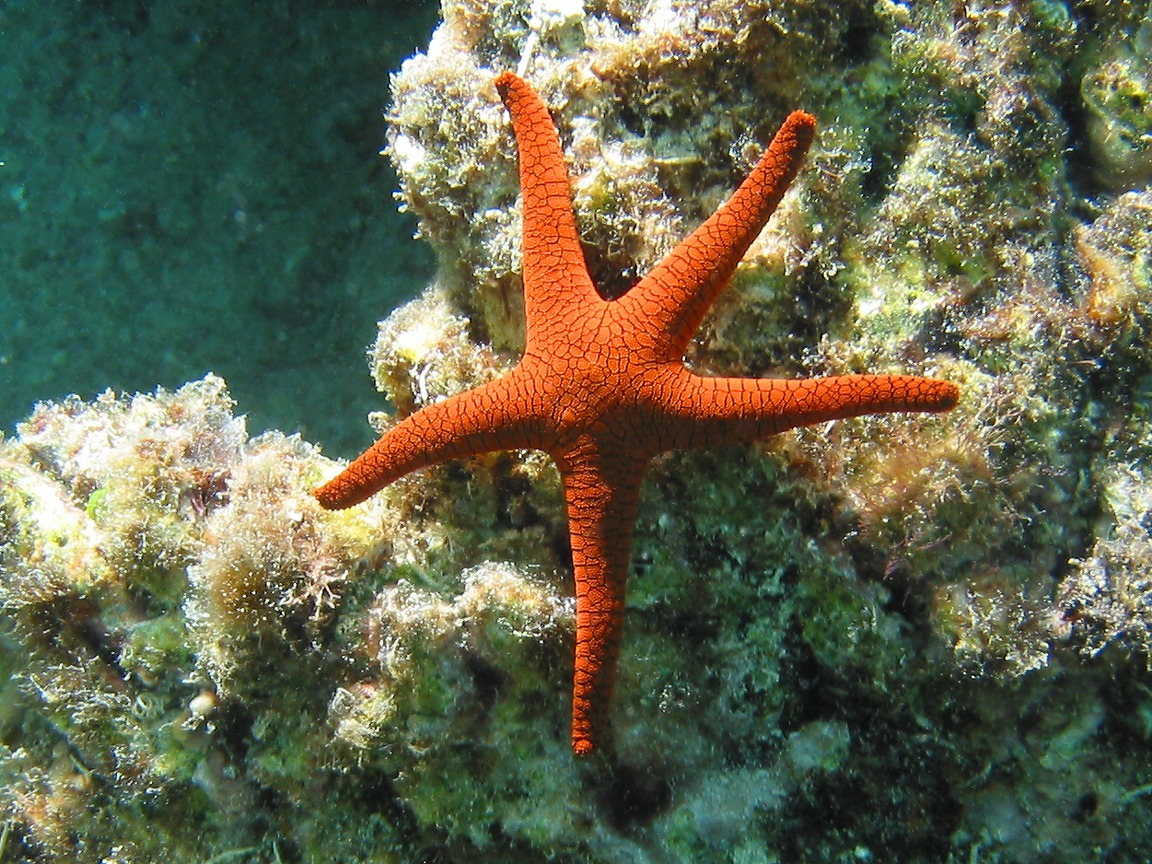 what is sea star