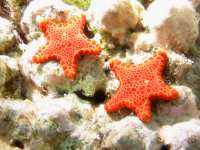 Pentagonaster duebeni photographed on the Great Barrier Reef in January of 2003 using a Canon G2 digital camera and Ikelite housing (focal length = 7mm, 1/100th second, f8, ISO 50)