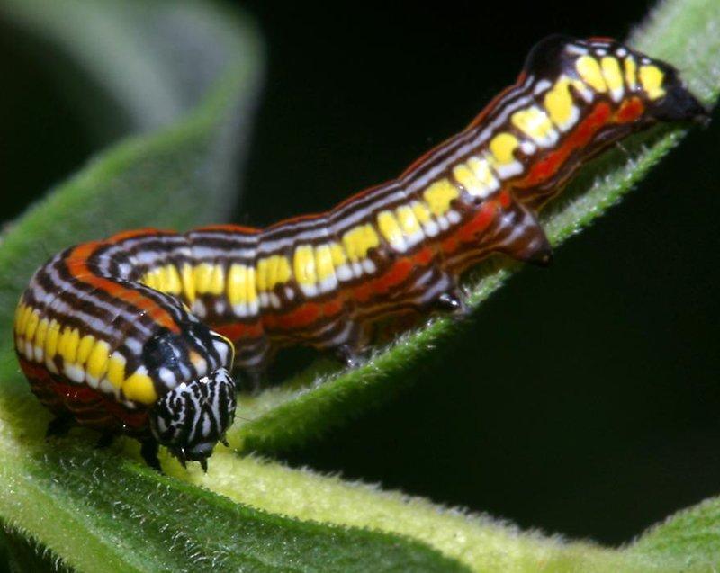 Caterpillars Of Northern Illinois