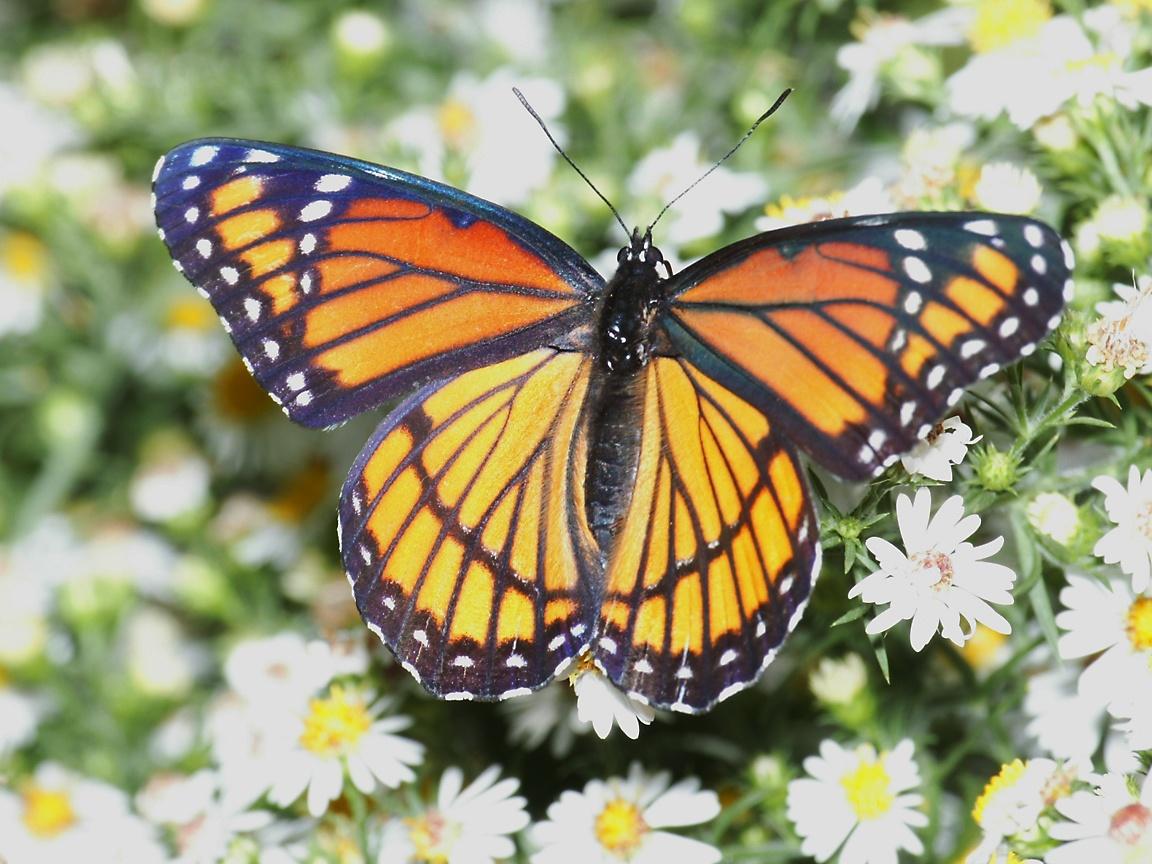 Brushfoot Butterfly Wallpaper