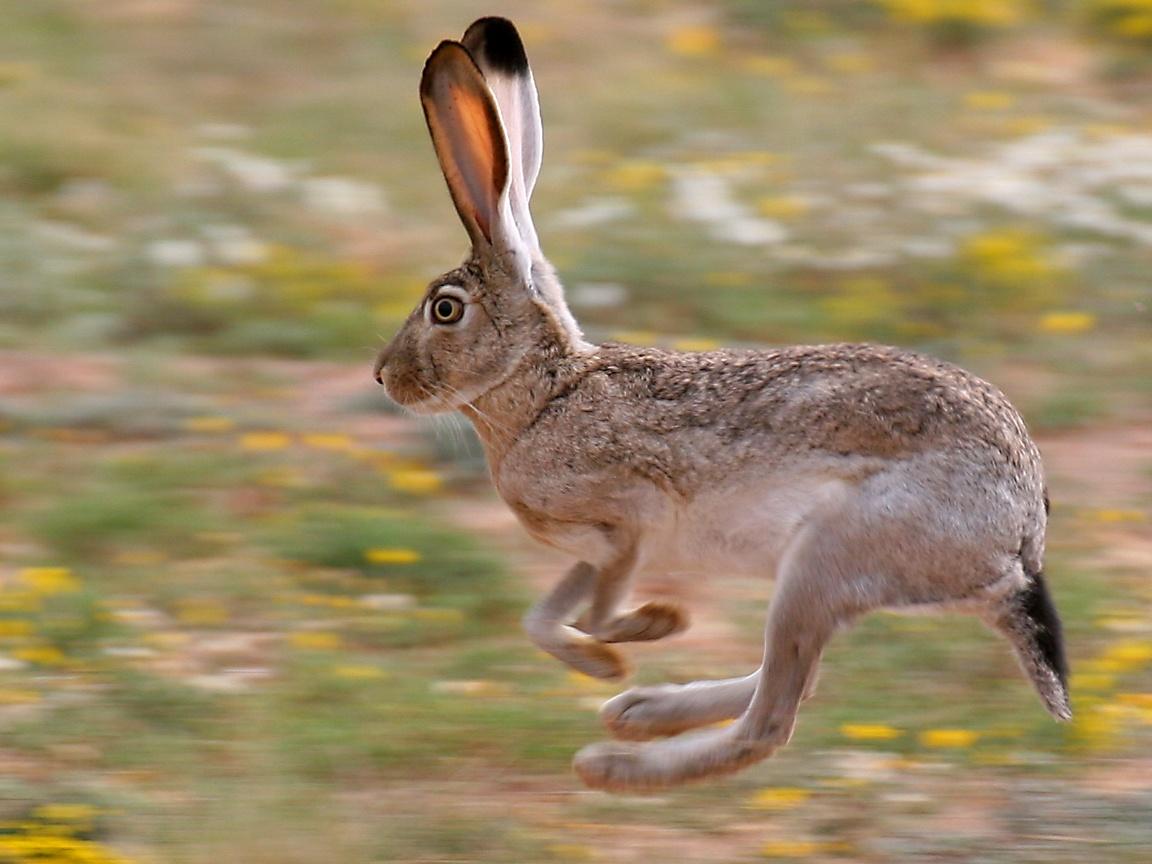 Jack Rabbit Usa >> Mammal Wallpaper
